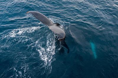 Humpback whale in the Gerlache Strait