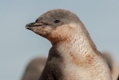 Close-up of penguin in Half Moon Island, Antarctica