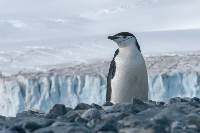Chinstrap penguin on Half Moon Island, Antarctica