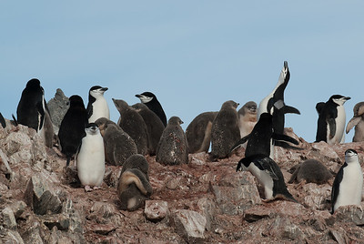Colony of chinstrap penguin in Half Moon Island, Antarctica