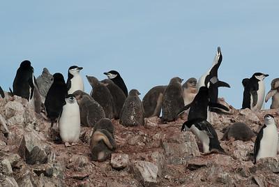 Colony of chinstrap penguin in Half Moon Island, Antarctica