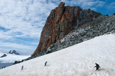 Chinstrap penguins near a lichten covered rock on Half Moon Island, Antarctica