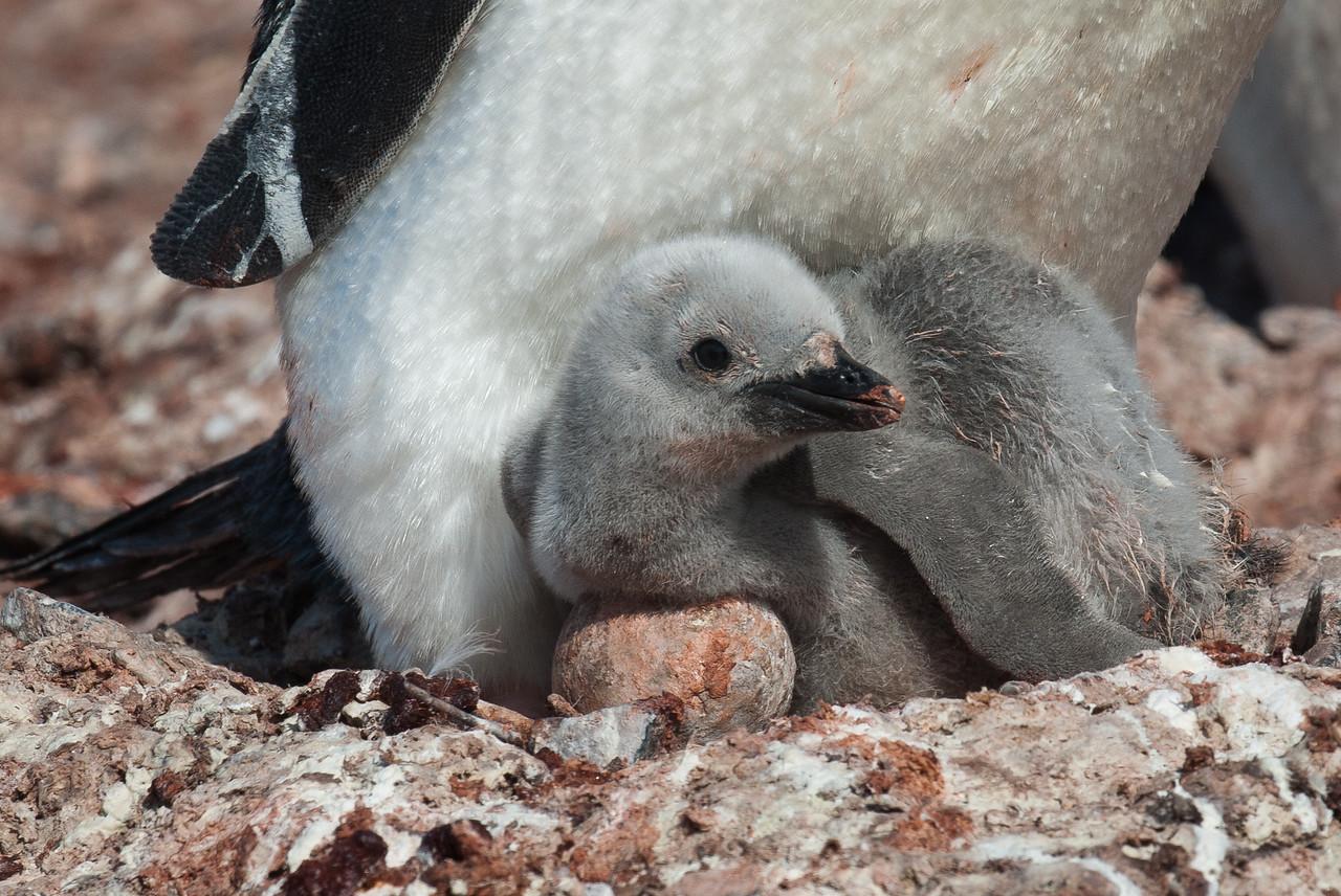 Baby chinstrap penguin on Half Moon Island, Antarctica