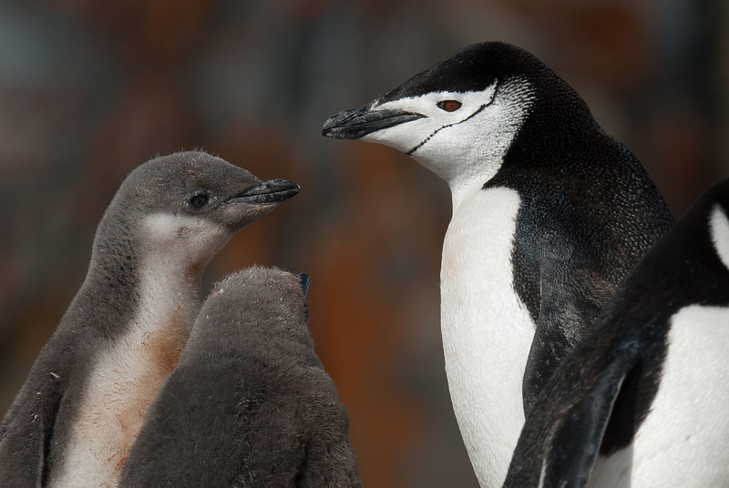 Chinstrap penguin in Half Moon Island, Antarctica