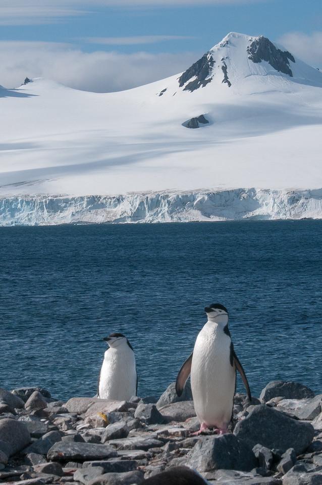 Chinstrap penguins in Half Moon Island, Antarctica