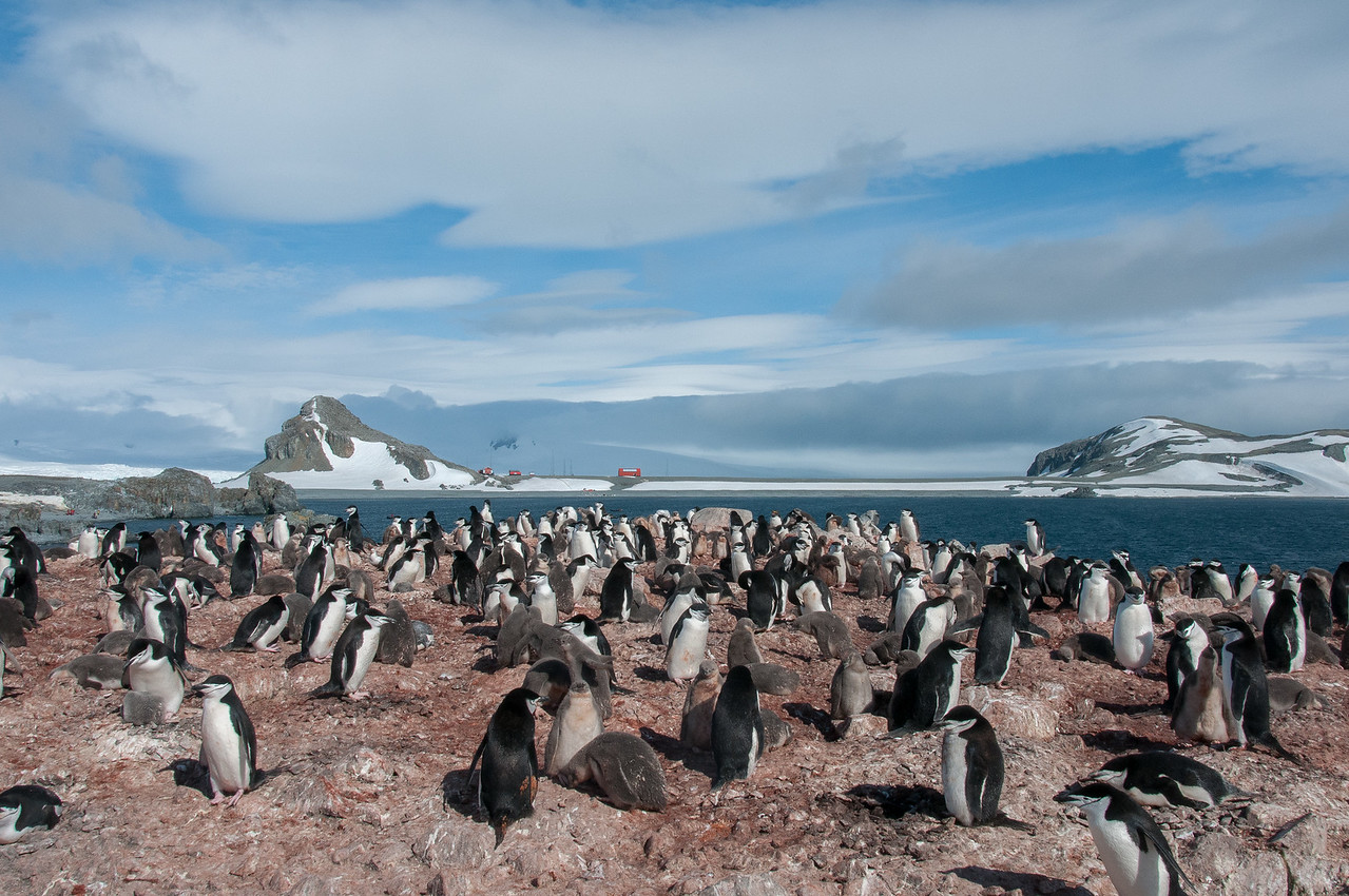 Colony of chinstrap penguins in Half Moon Island, Antarctica