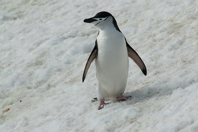 Chinstrap penguin in Half Moon Island, Antarctica