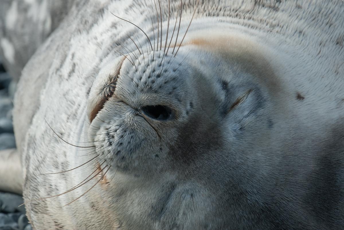 Sleeping Seal on Half Moon Island, Antarctia