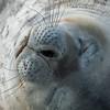 Sleeping seal on Half Moon  Island, Antarctica