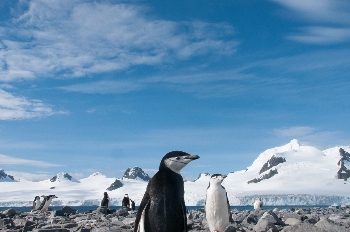 Chinstrap Penguins on Half-Moon Island, Antarctica