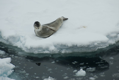 Leopard seal in the Lemaire Channel