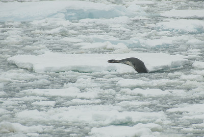 Leopard seal diving into the Lemaire Channel
