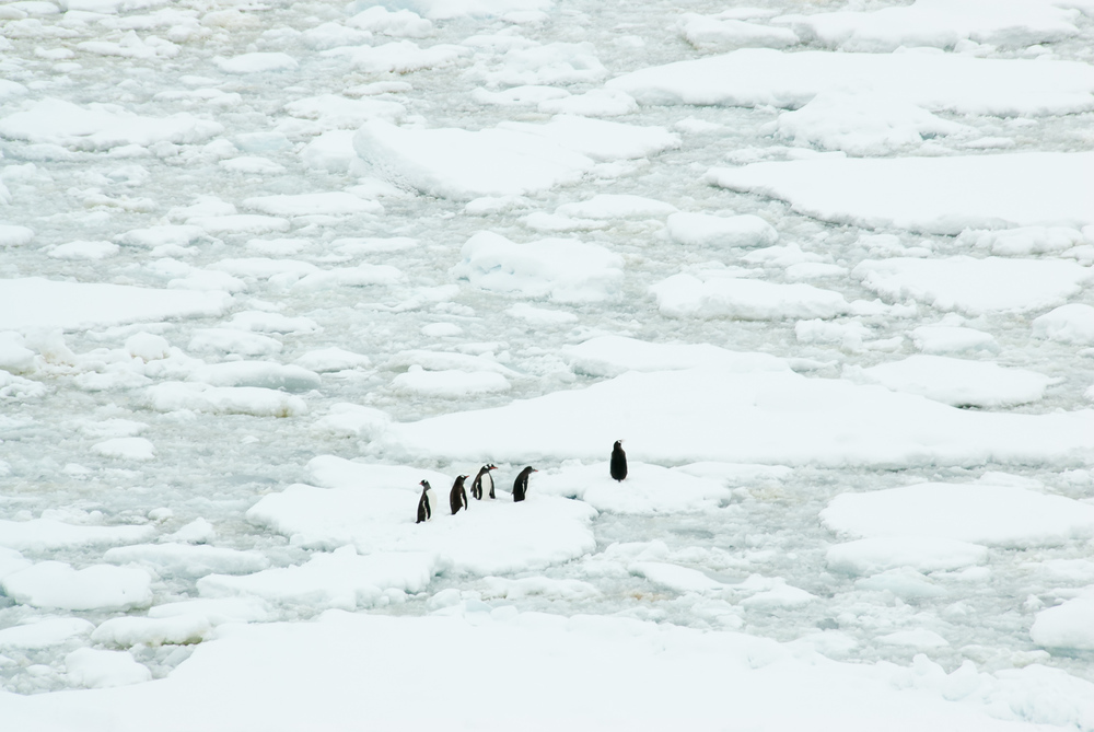 Gentoo penguins on pack ice in the Lemaire Channel, Antarctica
