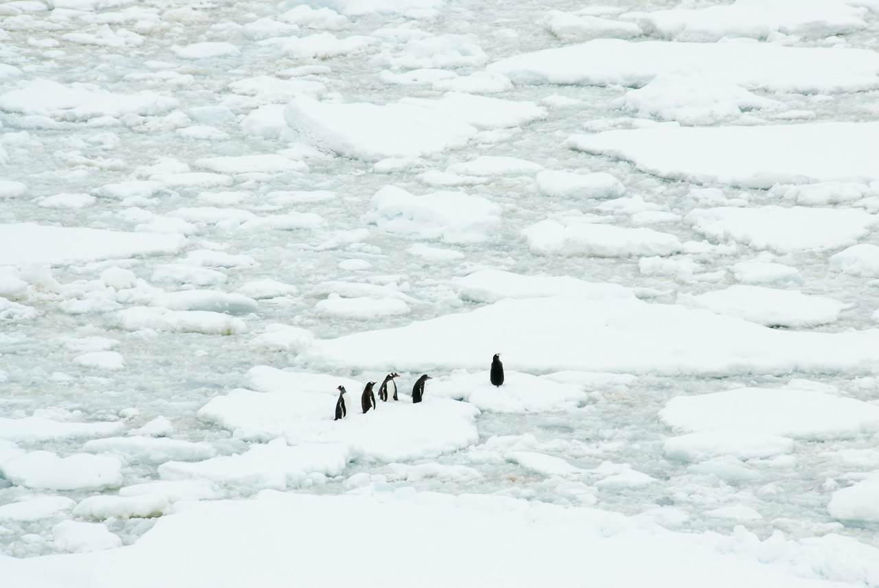 Gento  penguins on pack ice in the Lemaire Channel