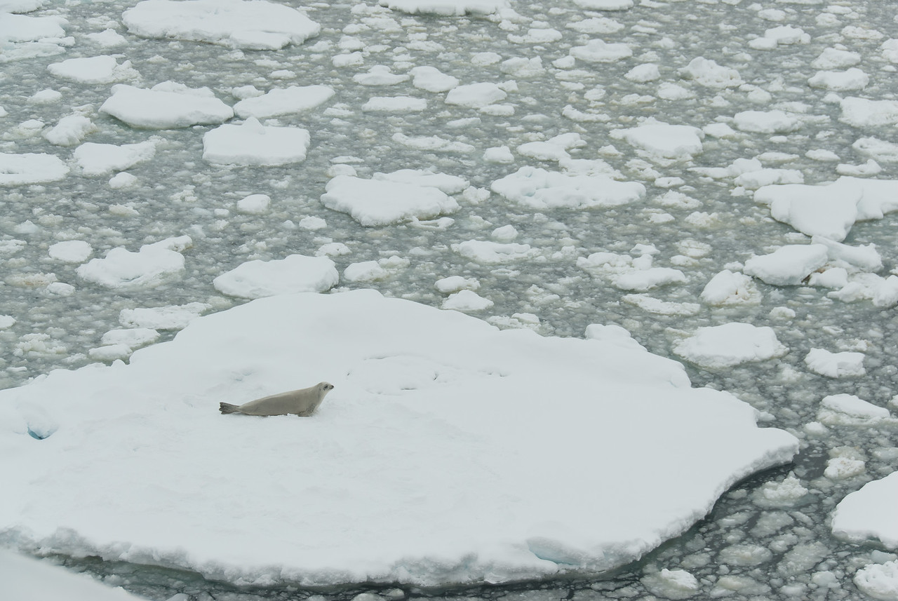 Seal in an iceberg in Lemaire Channel, Antarctica