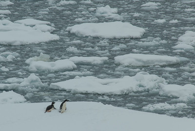 Adele penguins on an ice flow in the Lemaire Channel
