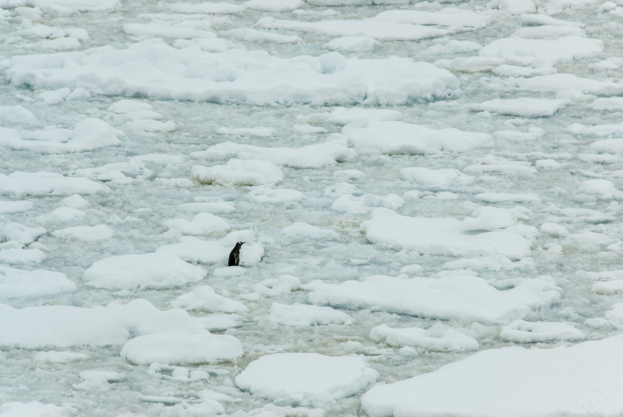 Penguin in an iceberg in Lemaire Channel, Antarctica