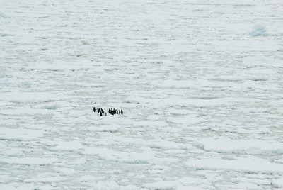 Gento penguins in an iceberg in Lemaire Channel, Antarctica