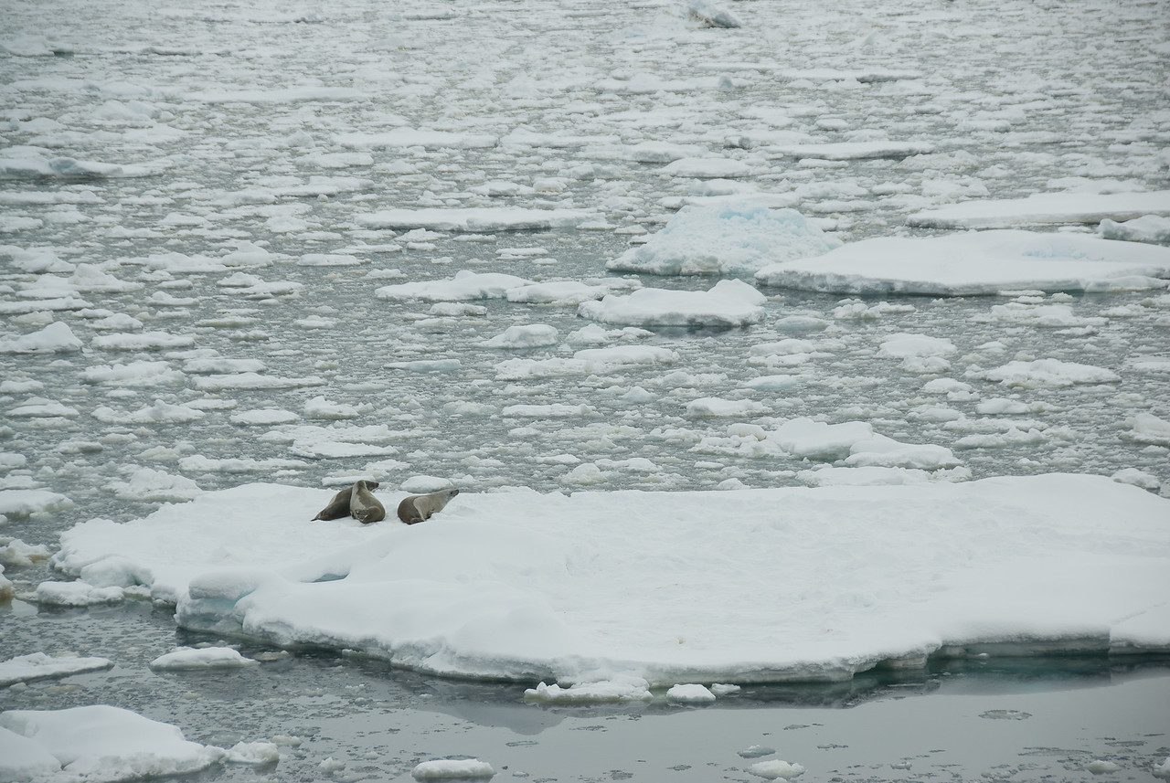 Leopard seals in an iceberg in Lemaire Channel, Antarctica