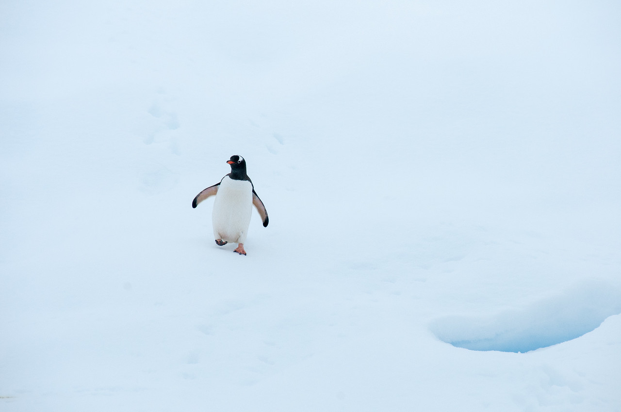 Gentoo penguin in Paradise Bay