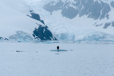 Penguin in Paradise Bay, Antarctica