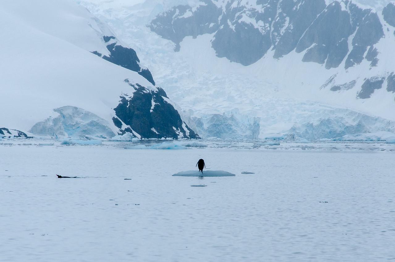 Penguin in Paradise Bay, Antarctica