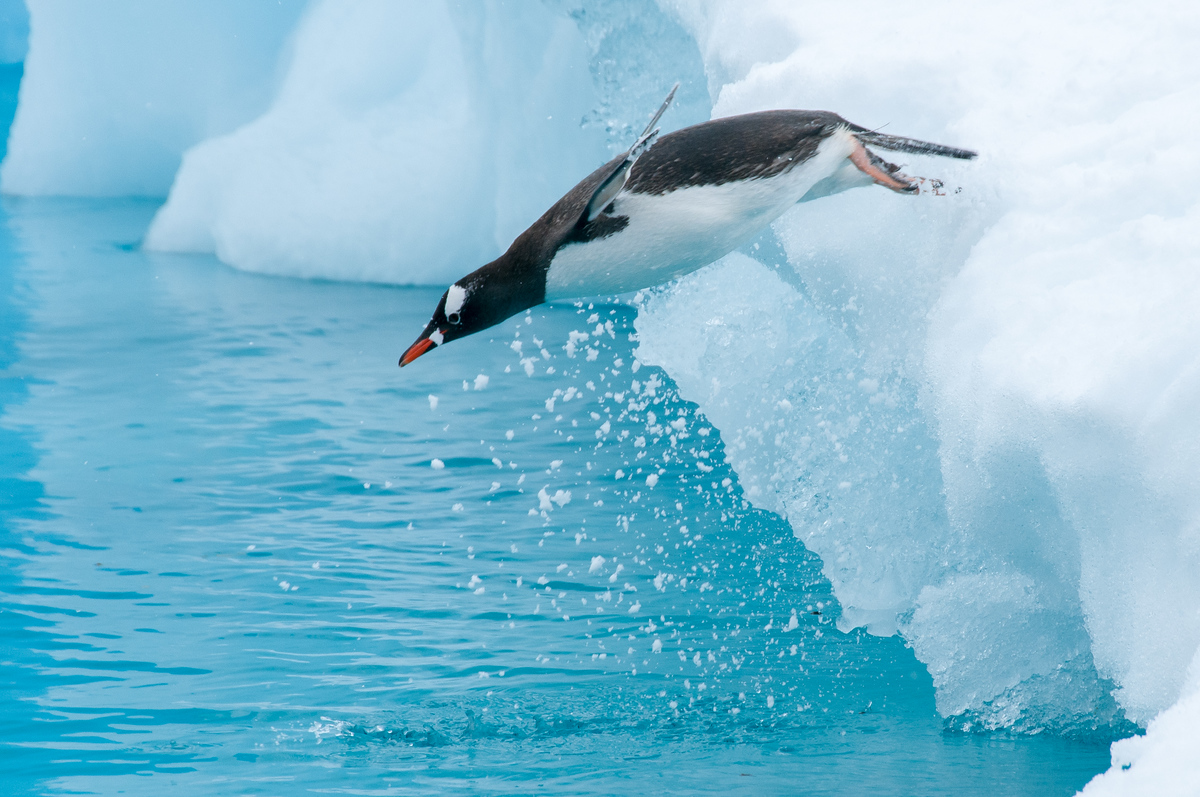 Diving Gentoo Penguin in Paradise Bay, Antarctica
