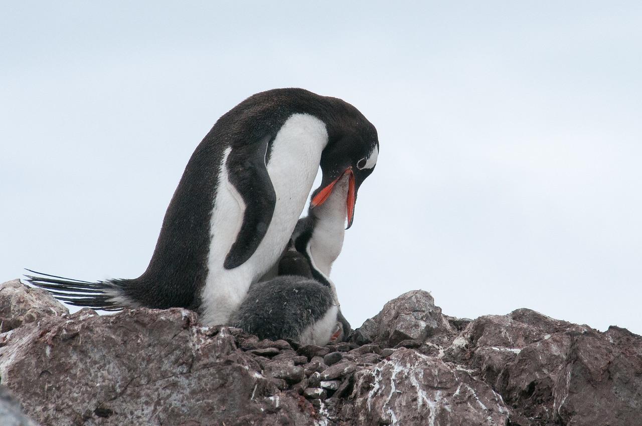 Gento penguin feeding in Paradise Bay