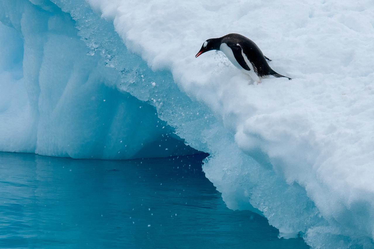 A gentoo penguin diving - Paradise Bay, Antarctica