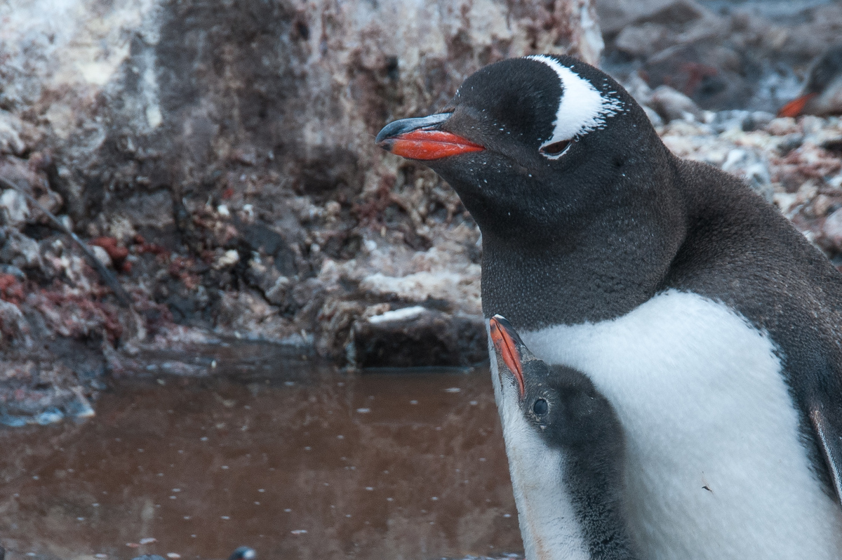 Gentoo Penguin and Chick in Paradise Bay, Antarctica