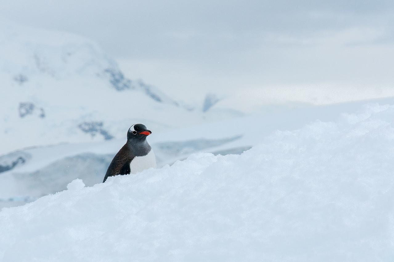 Gento penguin in Paradise Bay