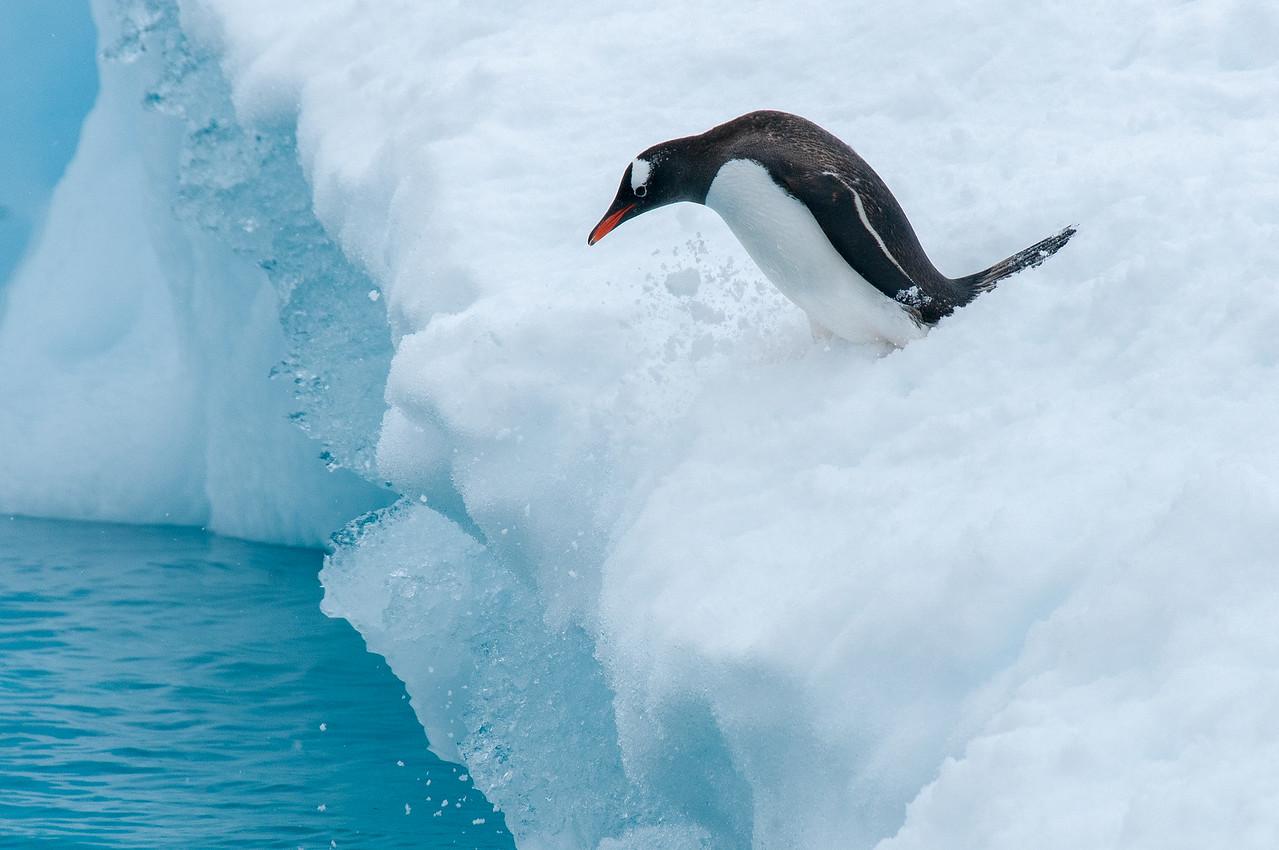 Gentoo penguin in an iceberg in Paradise Bay