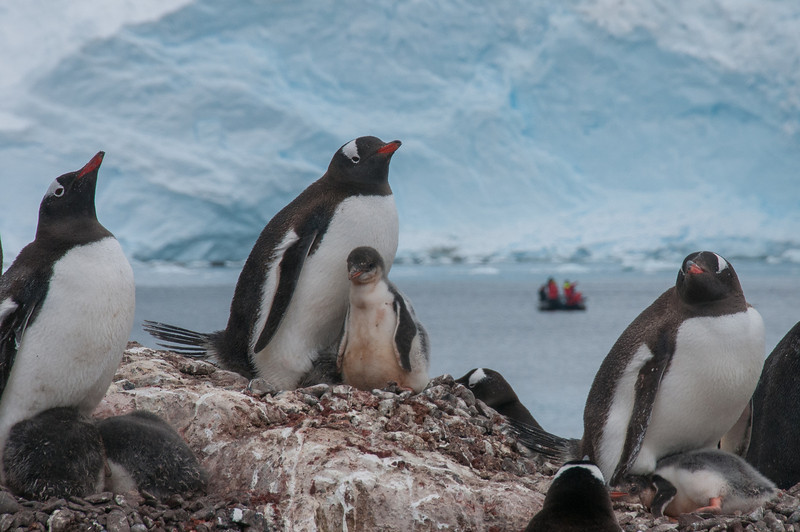 Gento penguin and chick in Paradise Bay