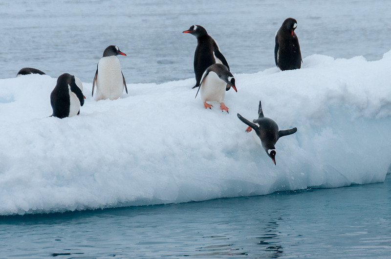 Gento penguins in Paradise Bay