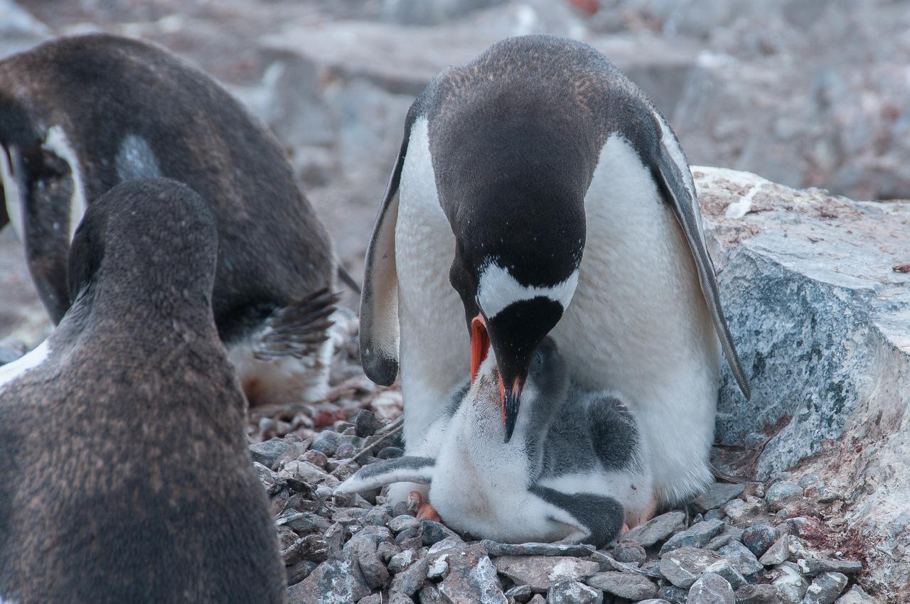 Gento penguin chick feeding in Paradise Bay
