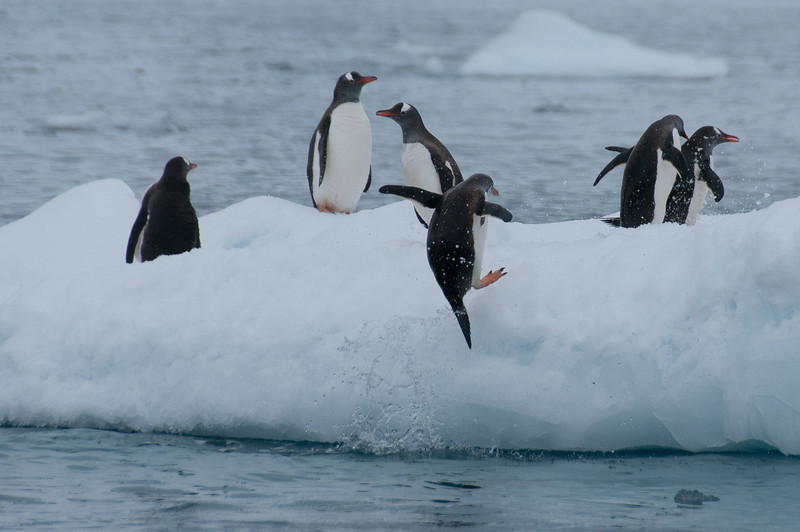 Gentoo penguin jumping out of water - Paradise Bay