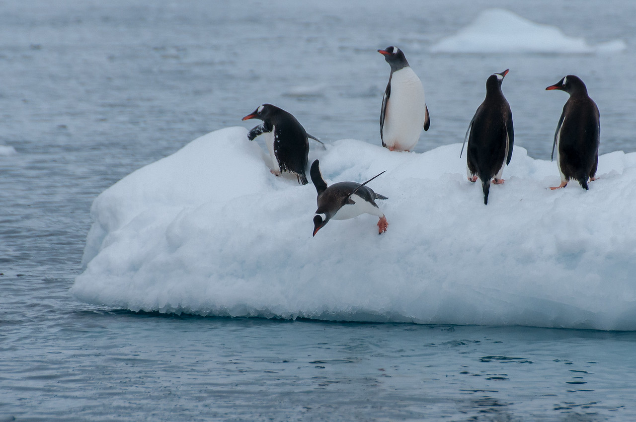 Gentoo penguin in Paradise Bay