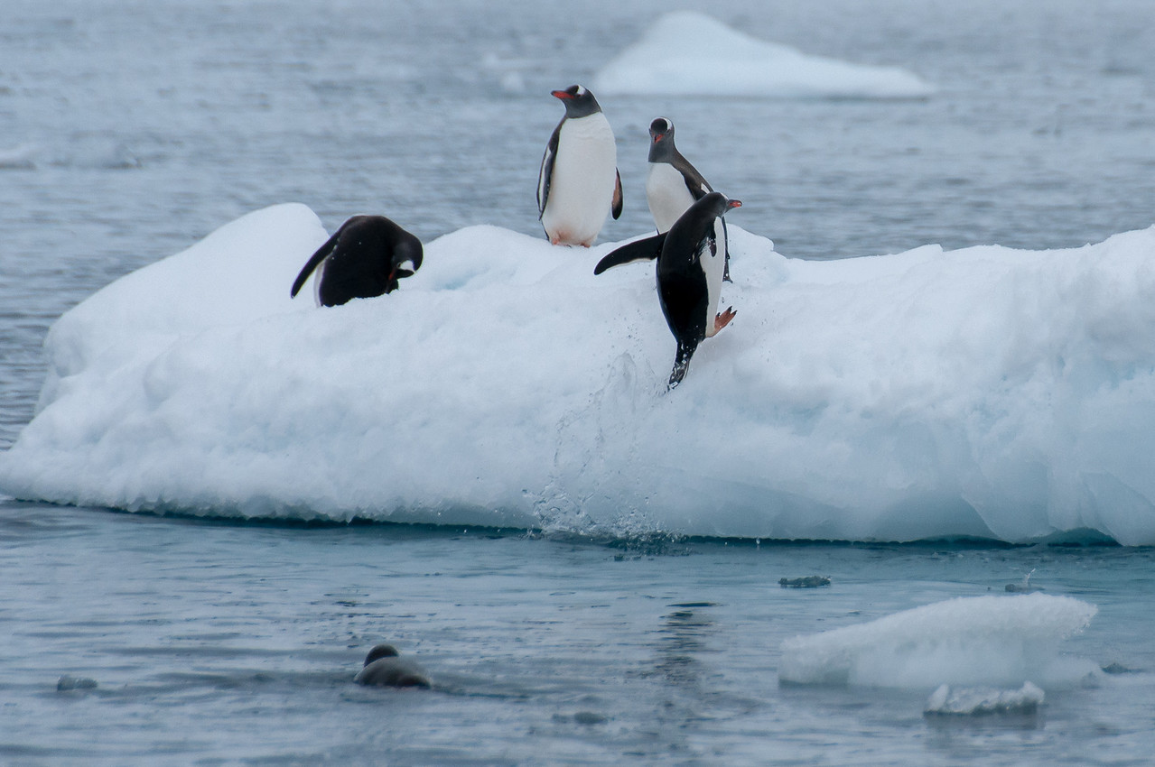 Gentoo penguin jumping out the water in Paradise Bay