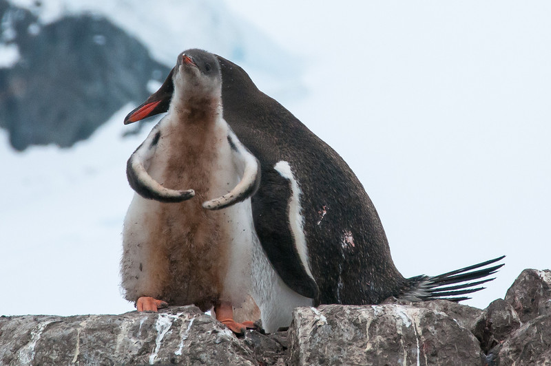 Gento penguin chick flexing muscles in Paradise Bay