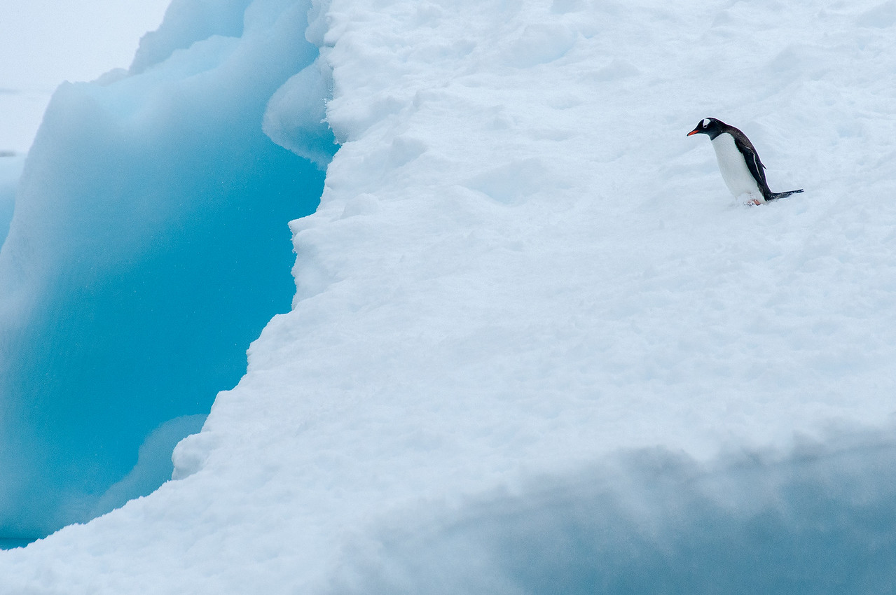 Gentoo penguin in an iceberg in Paradise Bay