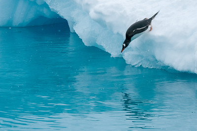 Gentoo penguin diving into the water - Paradise Bay