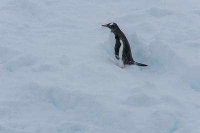 Gentoo penguin in Paradise Bay, Antarctica