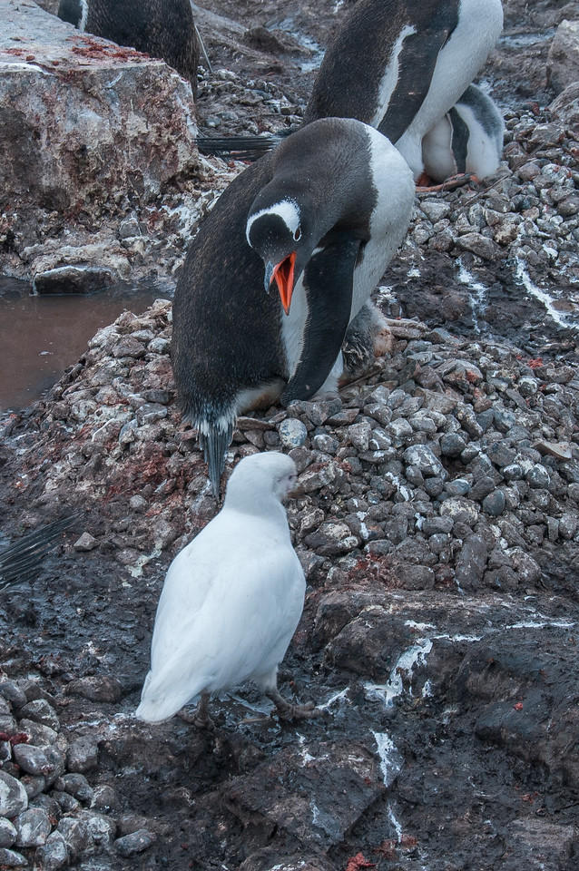 Gentoo penguins and chick in Paradise Bay