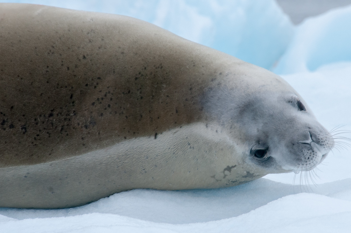 A Crabeater Seal in Paradise Bay, Antarctica
