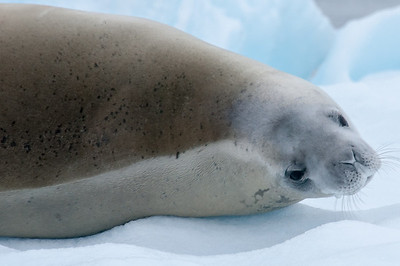 Seal in Paradise Bay, Antarctica