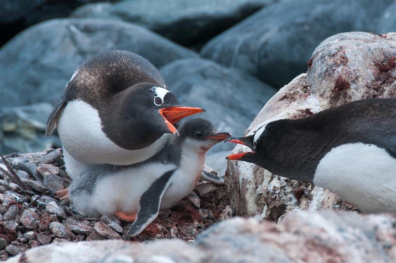 Gento penguins swaking in Paradise Bay