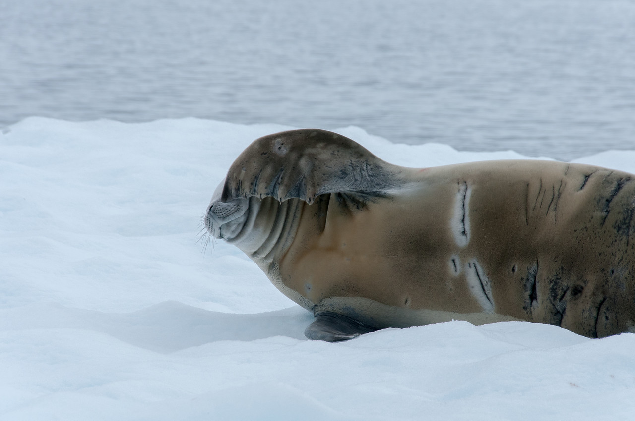 Crabeater seal showing scars, Paradise Bay