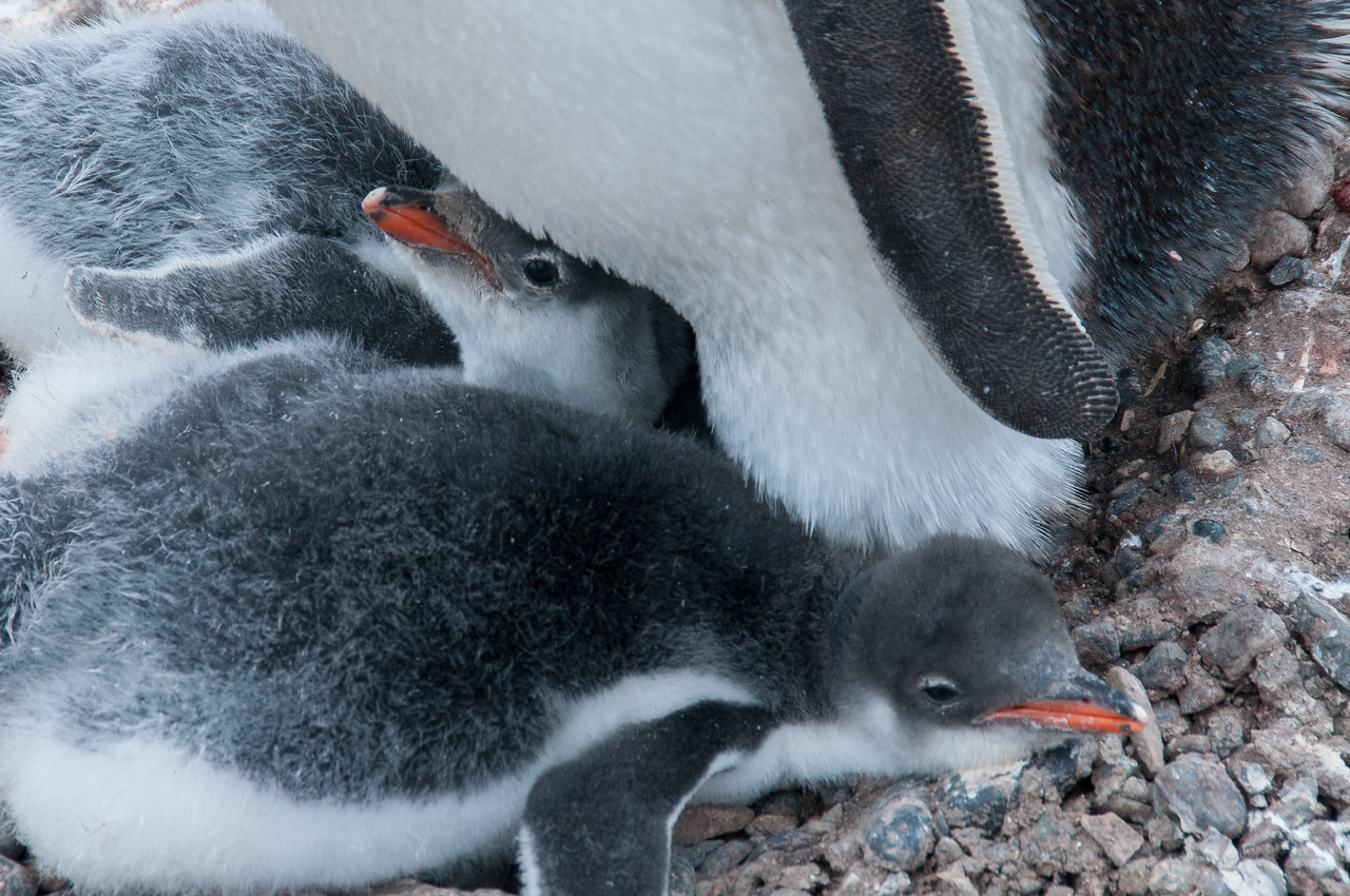 Gento penguin chicks in Paradise Bay