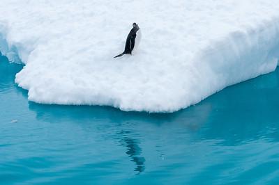 Gentoo penguin in an iceberg - Paradise Bay, Antarctica