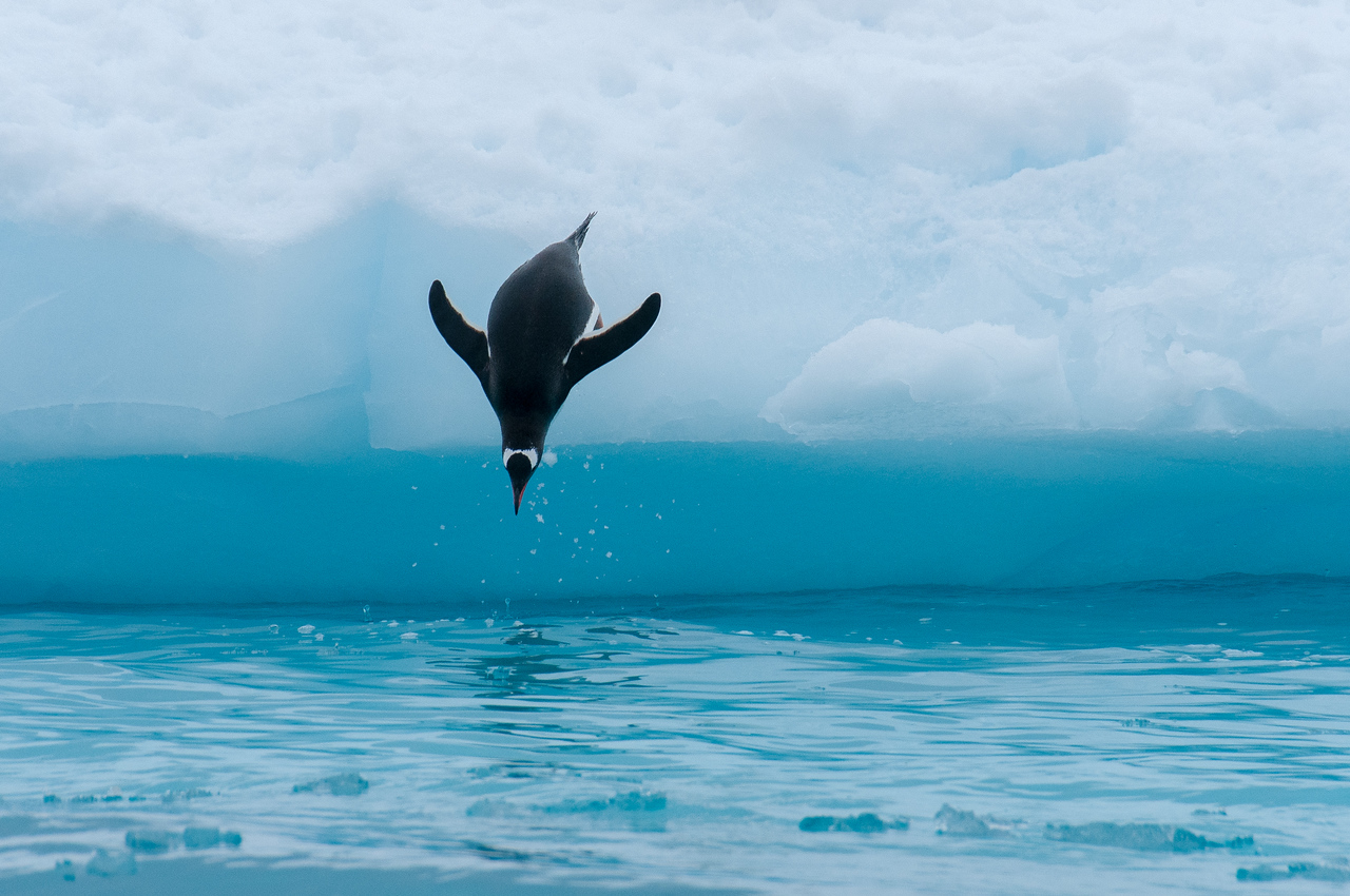 Penguin diving into the water - Paradise Bay